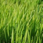Trawnik – jak poprawnie go nawozić?